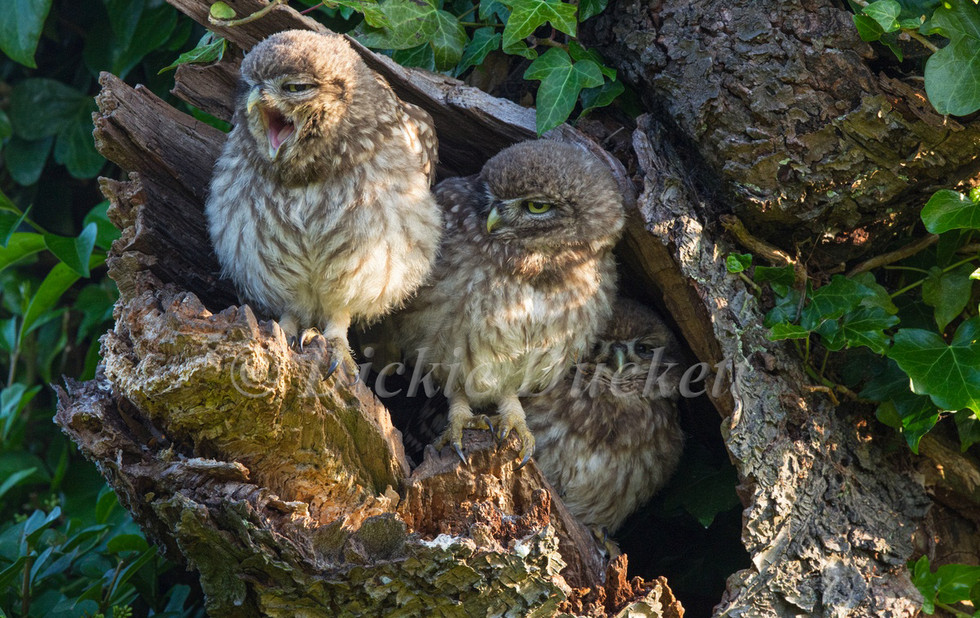 _13C1895 Owlets x 3 (one yawning)(warmer