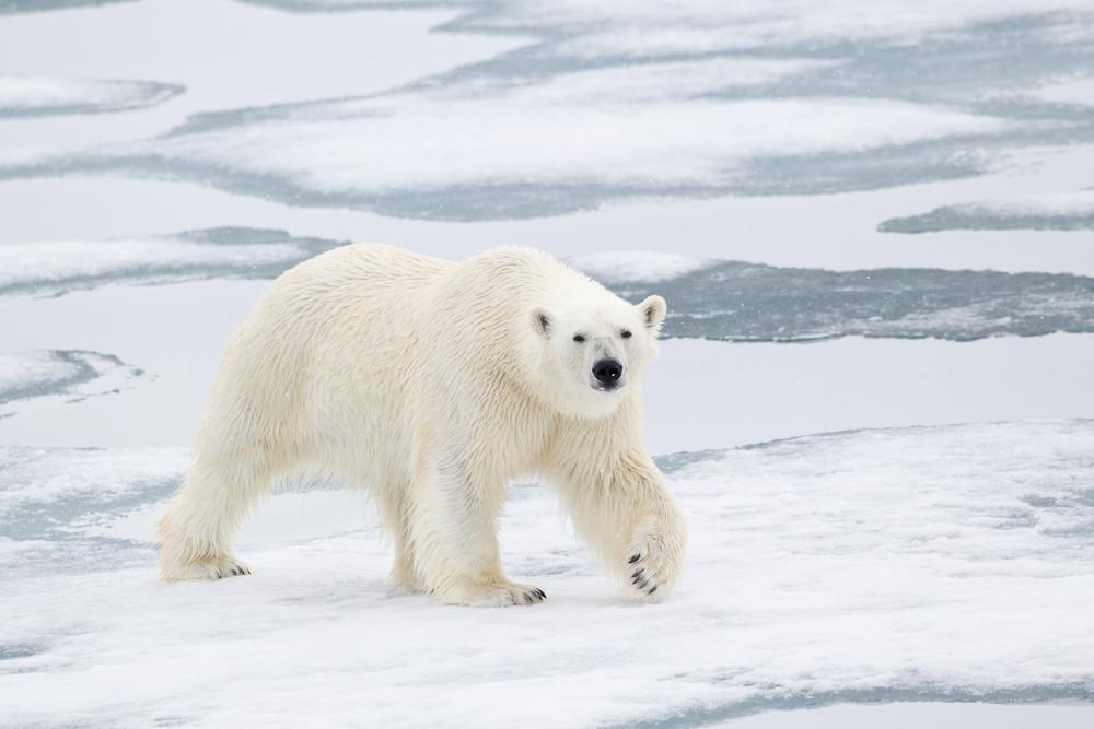 08 Polar Bear.jpg