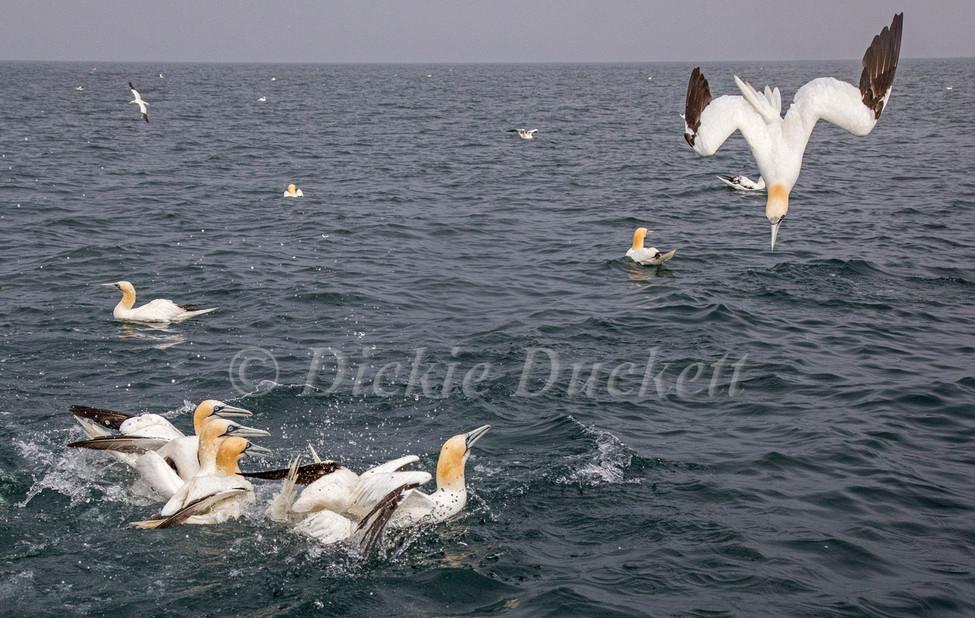 12 Gannets Bempton.jpg