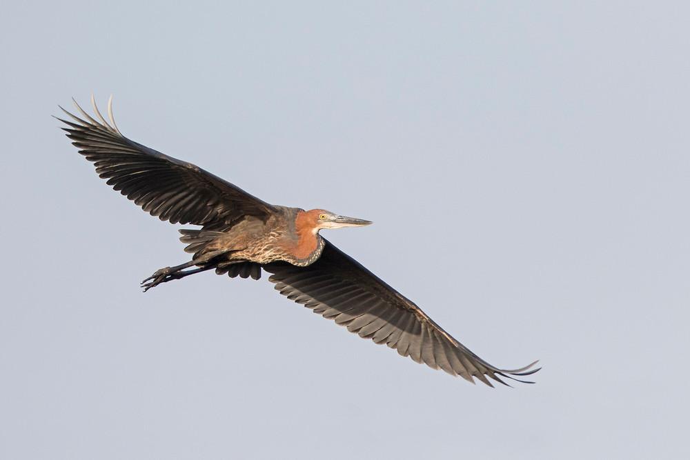 _A5A7588 Goliath Heron.jpg