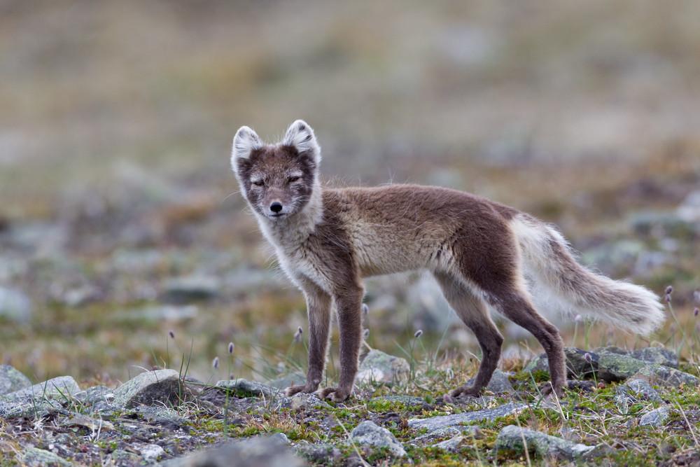 05 Arctic Fox.jpg