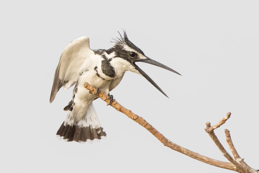 _A5A1153 Pied Kingfisher calling.jpg