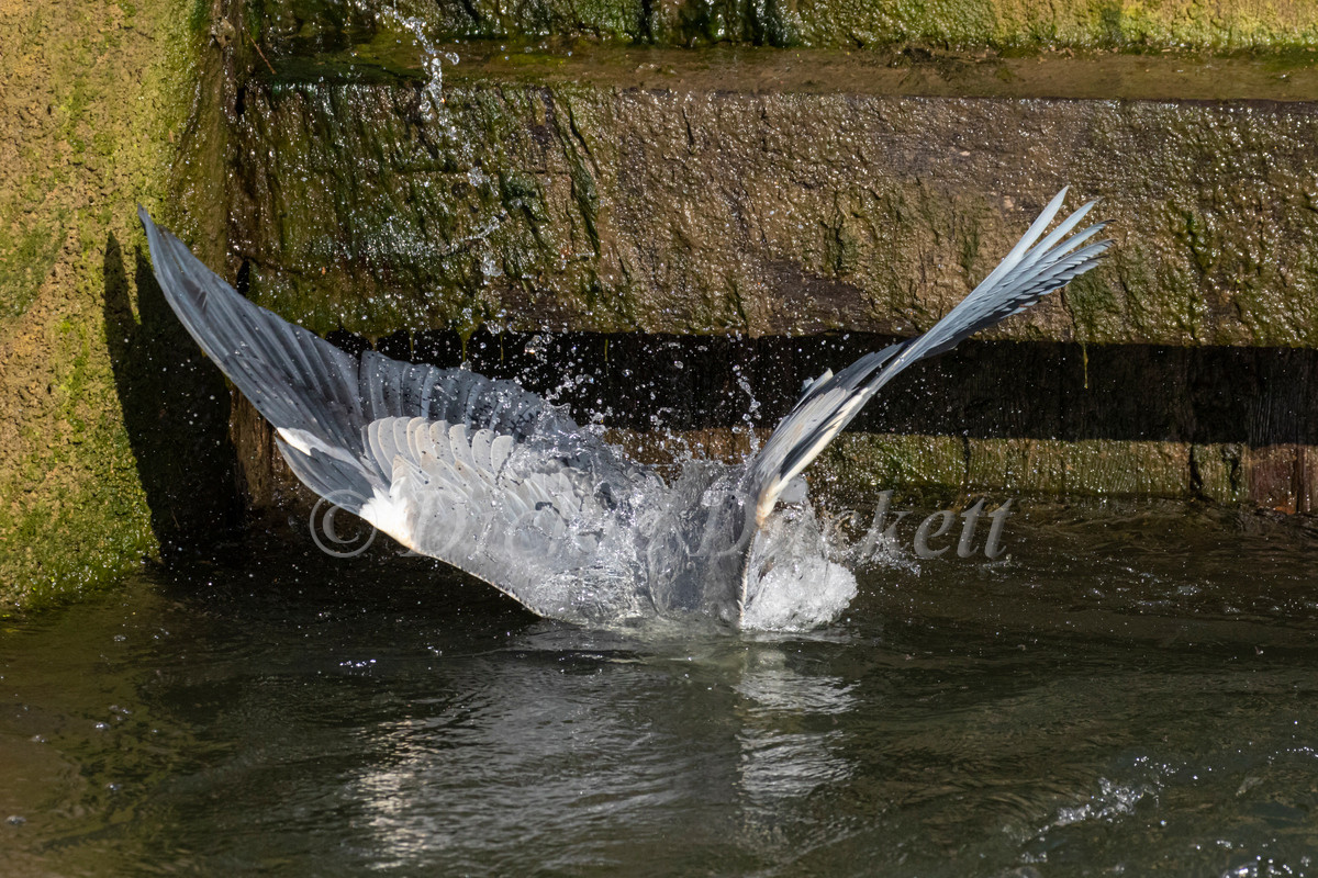 _A5A7901 Heron entering water indive for