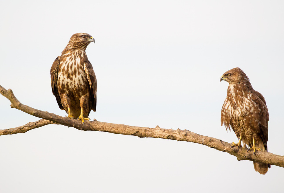 _13C3717 Common Buzzards