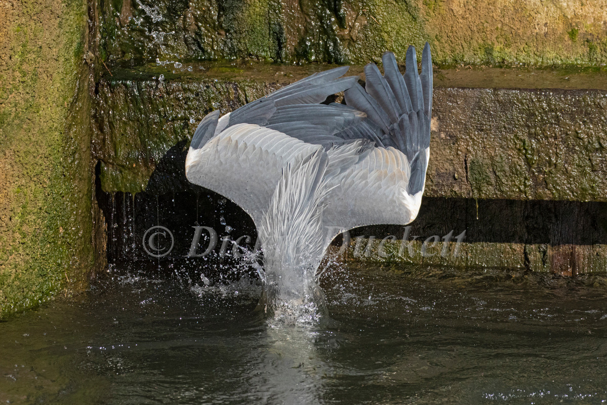 _A5A7900 Heron plungeing for fishr.jpg