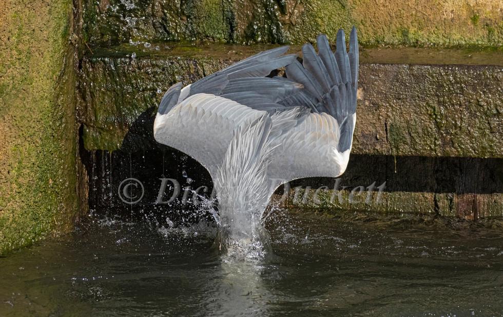 _A5A7900 Heron plungeing for fishr.jpg