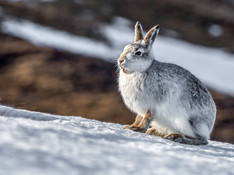 Mountain Hare (2).jpg