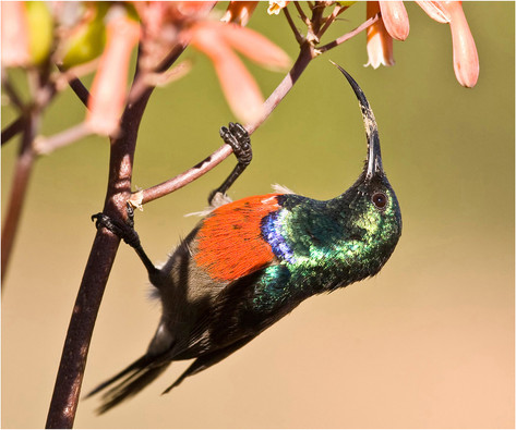 Double Collared Sunbird.jpg