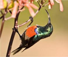 Double Collared Sunbird.jpg