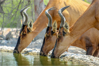 Red Hartebeest in Namibia