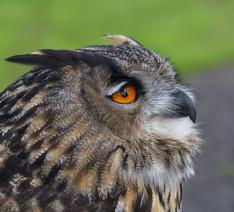 European Eagle Owl.jpg