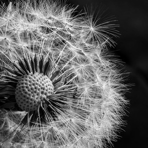 Close Up Dandelion Clock by Mike Gillan 1st