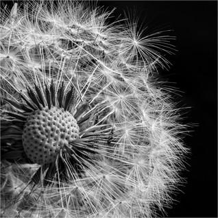 Dandelion clock by Mike Gillan