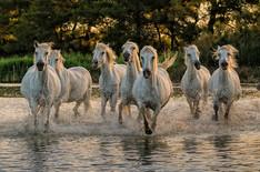 Camargue Horses at Sunrise.jpg