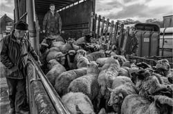 1_Jenny-Baker_Sheep Arriving