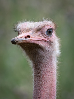 Indignant Ostrich by Dave Grout