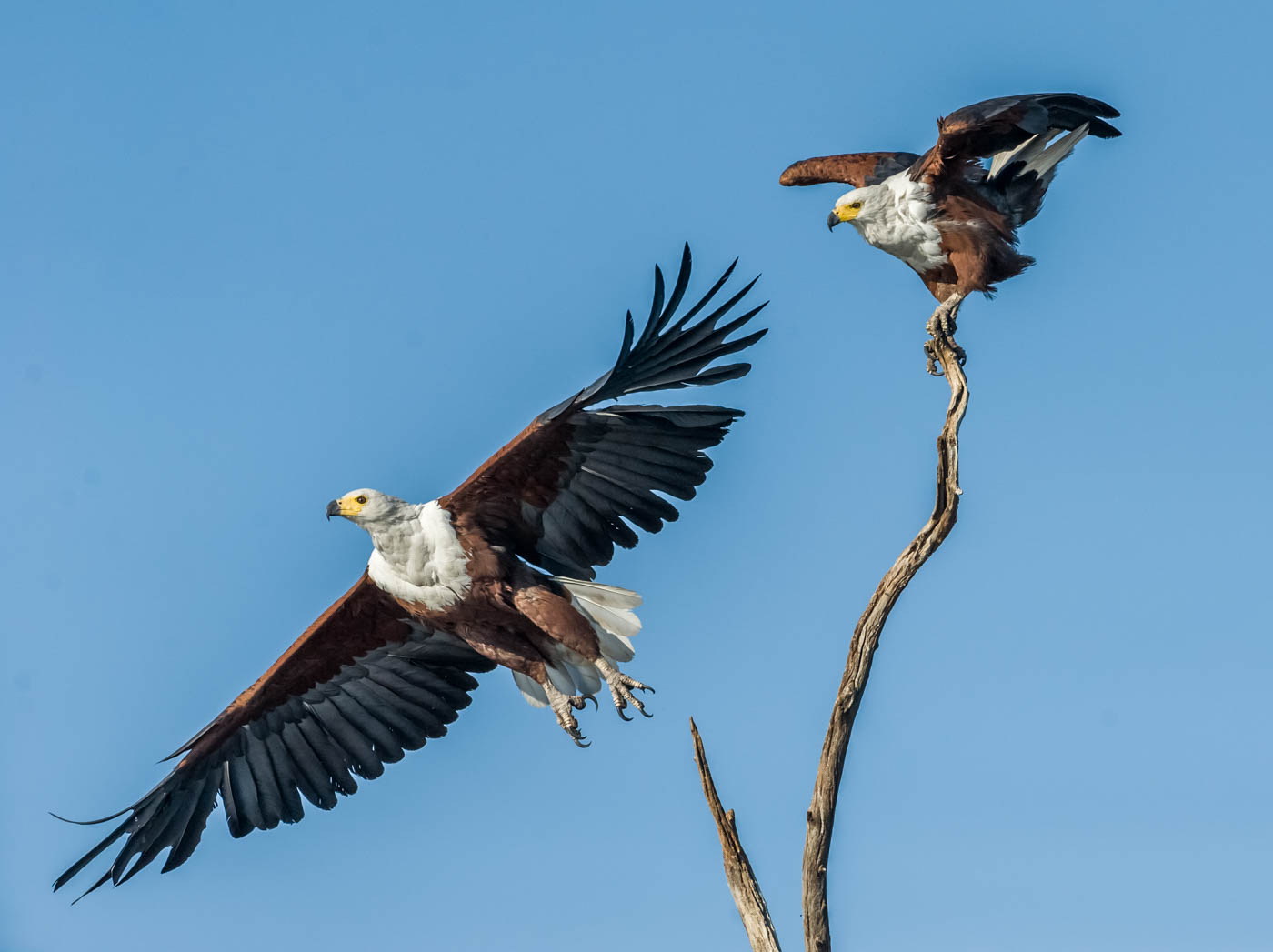 African Fish Eagles by Jenny