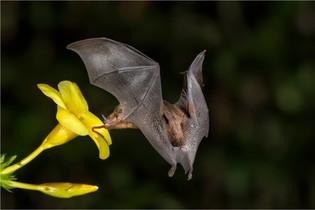 Long Tongued Bat by Sheila Haycox