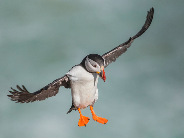 Puffin Landing by Dave McHutchison