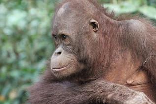 Orangutang - Deep in thought