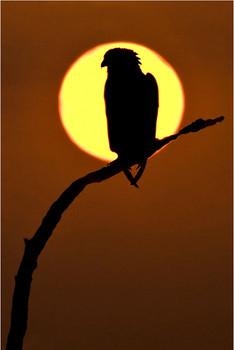 Bateleur Eagle at Sunrise