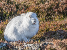 Mountain Hare.jpg