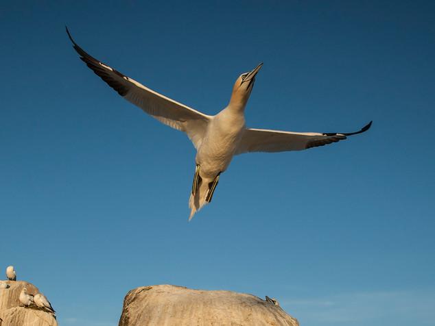 Gannet Take-off by Dave McHutchison