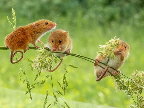 Harvest Mice 1.jpg