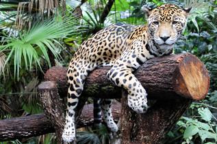 Leopard in Belize