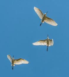 Egret Ballet.jpg