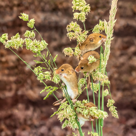Harvest Mice.jpg