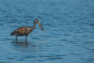 Open Billed Stork by Jenny Baker