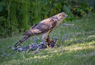 Sparrowhawk and Prey by Carol Hyett