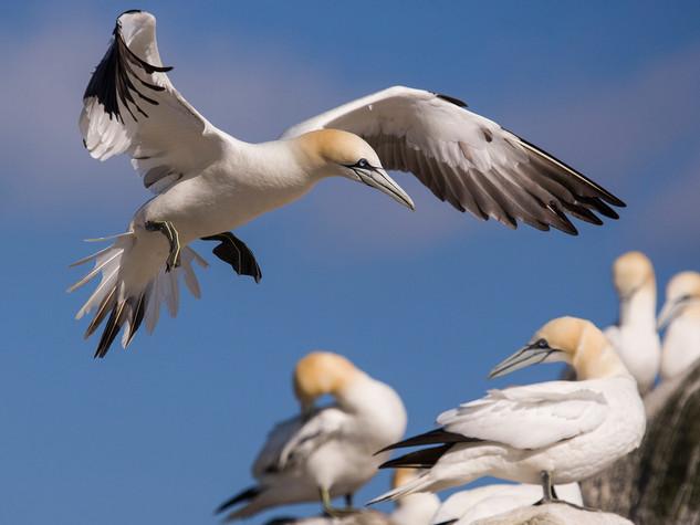 Gannet Landing by Dave McHutchison