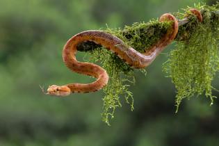 Eyelash Pit Viper by Sheila Haycox