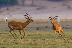Impala at Play.jpg
