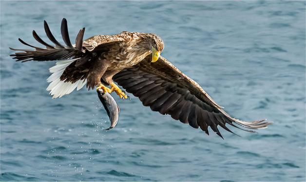 H/C - White Tailed Eagle - Sheila Haycox ARPS MPAGB EFIAP
