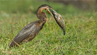 H/C - African Darter with catch by Sheila Haycox