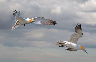 Gannets in Flight by Mo Martin - 15 points