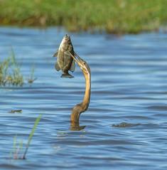 Darter with catch.jpg