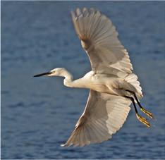 Little Egret on the Exe.jpg