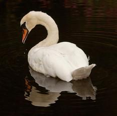 Swan at dusk.jpg