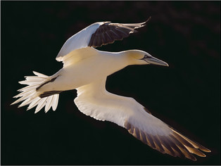 Backlit Gannet in Flight by Dave McHutchison