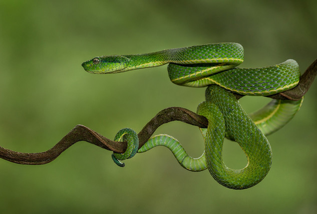 Green Pit Viper by Sheila Haycox
