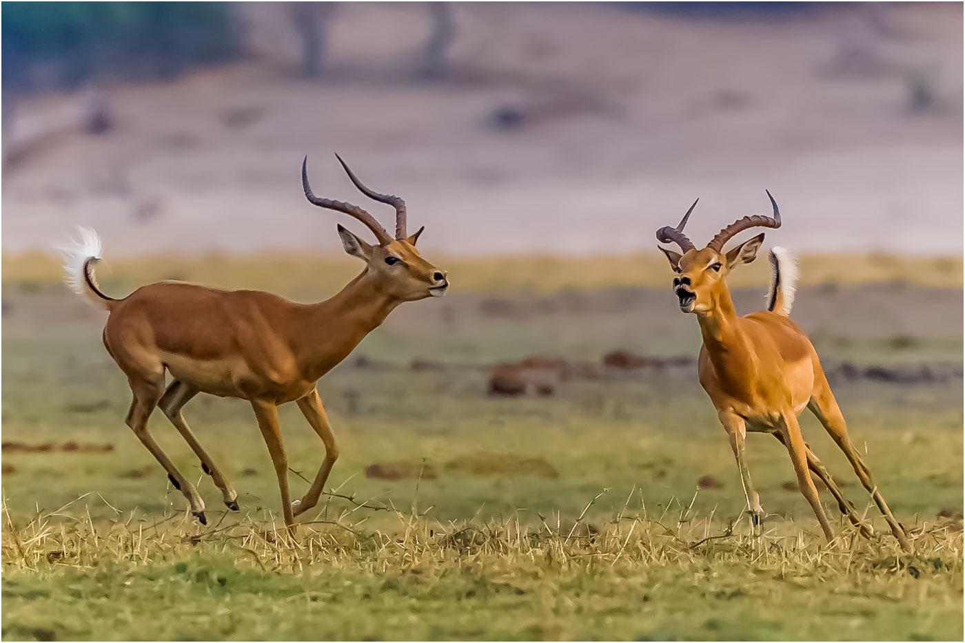 Impala at Play
