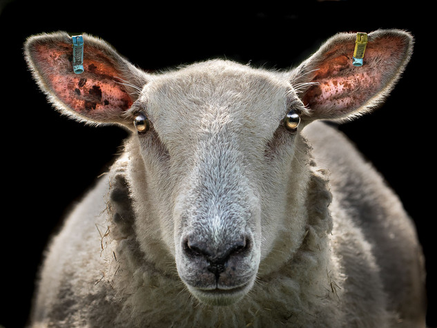 Hypnotic Sheep