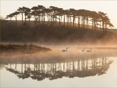 Swans at Budleigh.jpg