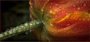 Tulip Raindrops by Christine Chittock
