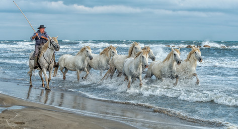 Camargue Wild Horses.jpg