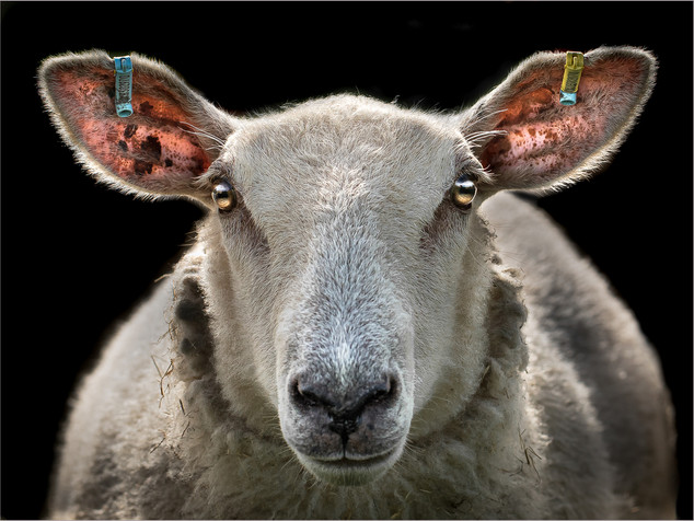 Hypnotic sheep by Dave Grout